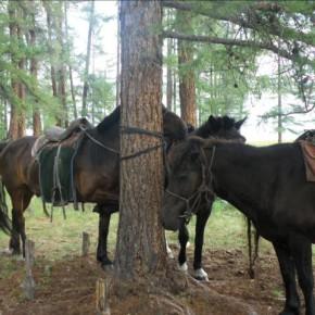 Chevaux Mongols au Campement