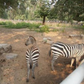 Zebres au Zoo de Pekin