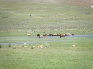 Paysage Mongolie - chevaux en liberté